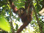 orangutan-sumatera_sun-ghou-kong.jpg
