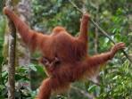 orangutann_20150514_093330.jpg