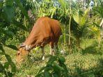 pemkab-tanjab-timur-distirbusikan-puluhan-sapi-dan-kambing-untuk-hewan-kurban.jpg