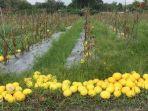 pengelola-kebun-melon-golden-batanghari-ujang-aholipr33.jpg