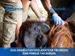 penyelamatan-orangutan.jpg