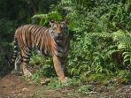 peresmian-pusat-rehabilitasi-harimau-sumatera-prhsd_20180311_150947.jpg