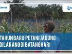 petani-jagung-di-batanghari97j.jpg