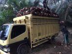 petani-sawit-di-pemayung-saat-memuat-buah-sawit-ke-truk.jpg