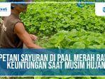 petani-sayur-pal-merah87.jpg