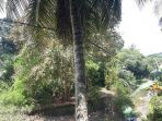 pohon-kelapa-kabel-listrik_20180419_155121.jpg