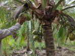pohon-kelapa-tanjab-timur.jpg