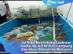 polda-dan-bkipm-jambi-gagalkan-penyelundupan-44-ribu-benih-lobster-yang-akan-dikirim-ke-malaysia.jpg