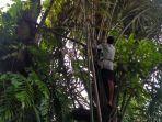 proses-pembuatan-gula-aren-di-desa-malapari-kecamatan-muara-bulian-kabupaten-batanghari.jpg