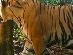 salah-satu-individu-baru-harimau-sumatera.jpg