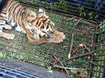 satu-ekor-harimau-berhasil-diamankan-di-desa-guguk-kecamatan-renah-pembarap-merangin.jpg