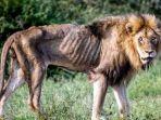 singa-yang-kehilangan-kesombongannya_20180528_211420.jpg