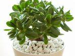 tanaman-giok-atau-jade-plant.jpg