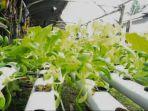 tanaman-hidroponik-asuad-ariwidiawan.jpg
