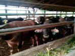 ternak-sapi-daging-hewan-kurban9.jpg