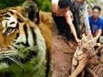 teror-harimau-di-pagaralam-tewaskan-1-orang-petani-kebun-kopi.jpg