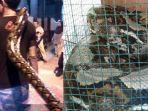 ular-piton-sono-kembang.jpg