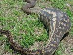ular-piton_20180618_204710.jpg