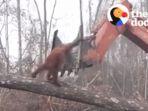 video-orangutan-melawan-buldoser-di-kalimantan-viral-di-media-sosial_20180609_154602.jpg