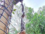 video-ular-piton-raksasa-bergelantungan-di-rumah-warga-sambil-melahap-seekor-posum-vira.jpg