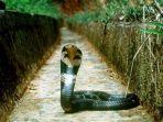 viral-detik-detik-video-ular-kobra-pesta-makan-nasi.jpg