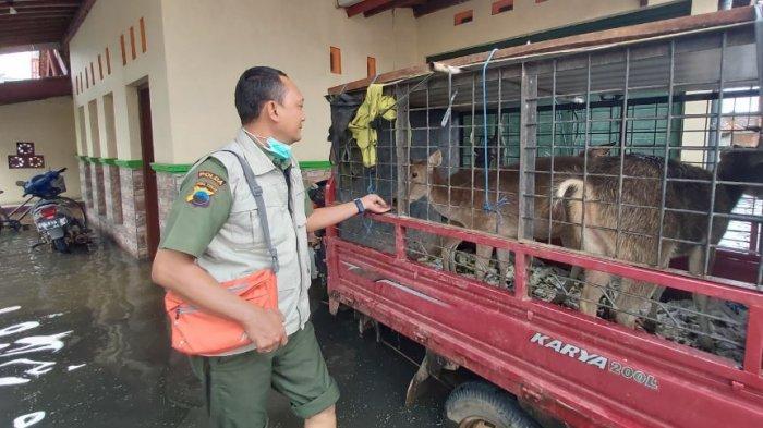 BKSDA akan Evakuasi Rusa yang Terjang Banjir di Karangjompo Pekalongan