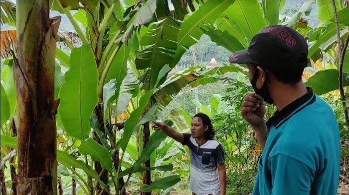 Alasan Kenapa Petani Salak di Banjarnegara Pindah Tanam Pisang Setelah 20 Tahun Tanam Salak