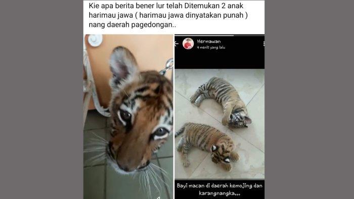 Viral Video Anak Macan di Pagedongan Banjarnegara, Kades:Itu Hanya Bocil Iseng