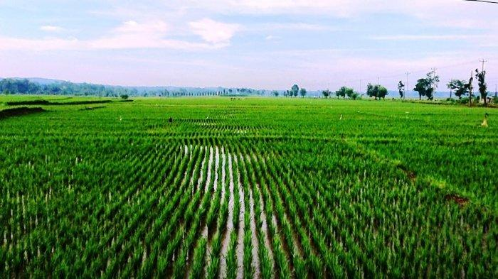 Petani Pemalang Tolak Impor Beras: Kami Berjuang Sendiri, Jangan Membuat Petani Makin Menderita