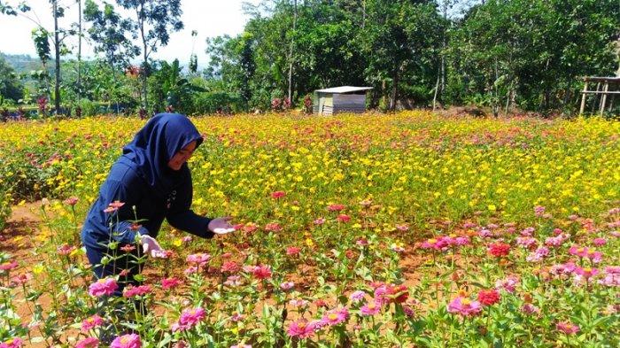 Hamparan Kebun Bunga Kenikir di Gunungpati Semarang, Spot Foto Baru yang Kekinian