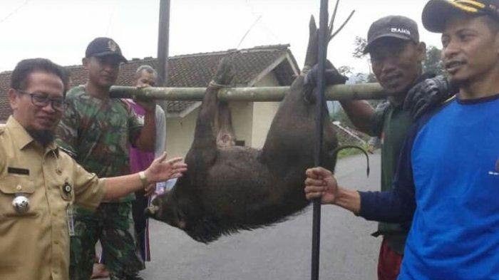 Menjarah Kebun dan Serang Warga, 7 Babi Hutan di Pandanarum Banjarnegara Dibunuh