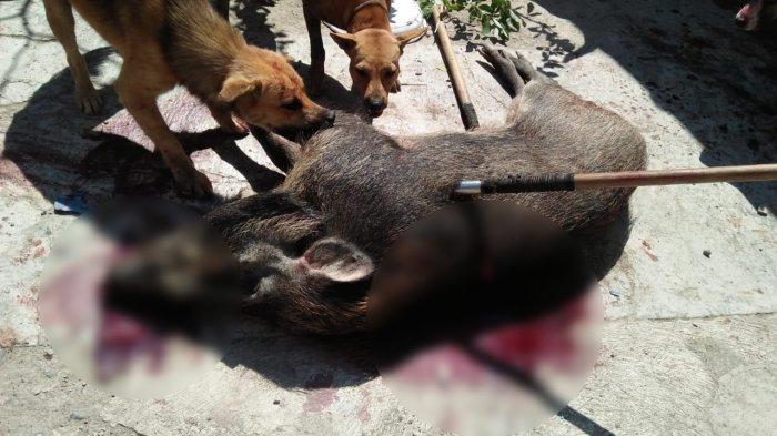 Babi Hutan Kembali Resahkan Warga Kabupaten Tegal, Rabu Malam Beraksi di Dukuh Jatilawang