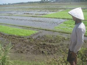 Banjir Rob Genangi Lahan Pertanian Milik Warga