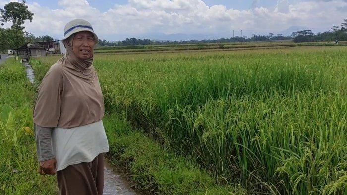 Petani Padi Organik di Banjarnegara Mendulang Untung di tengah Anjloknya Harga Gabah di Pasaran