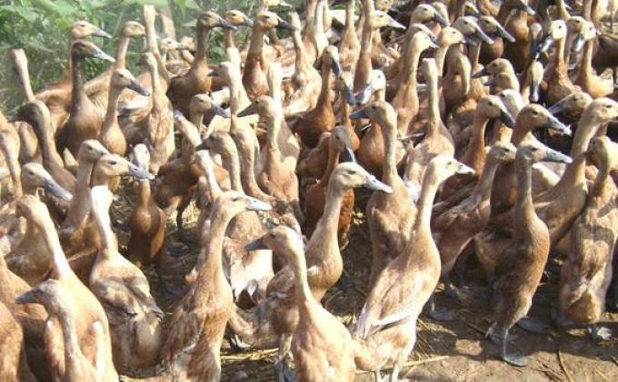 Polisi Tangkap Pencuri Bebek yang Sekali Beraksi Bisa Gondol Ratusan Ekor