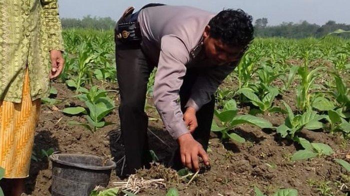 Sosialisasikan Kewaspadaan Aksi Pecurian ke Petani, Bhabinkamtibmas Ini Ikut Tanam Tembakau