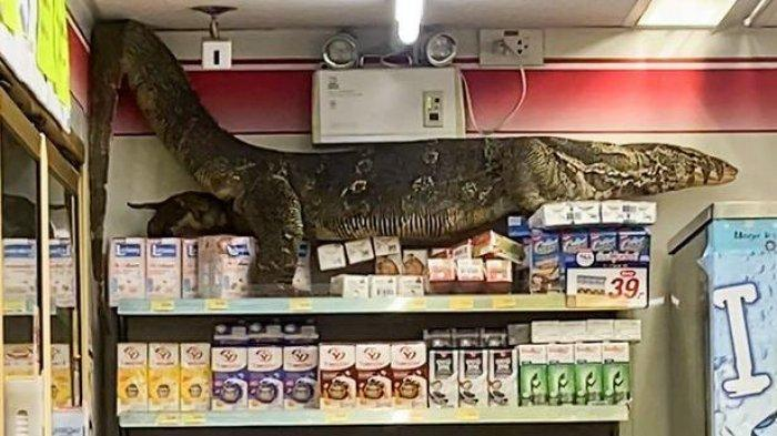 Biawak Raksasa Tiba-Tiba Masuk Minimarket Panjat Rak Makanan, Pegawai dan Pembeli Ketakutan