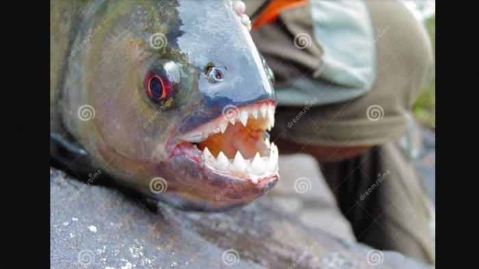 Black Piranha Miliki Gigi Tajam Mengerikan, Digunakan Kim Jong Un Eksekusi Mati Jenderalnya