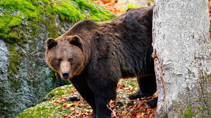 Beruang Grizzly Seret Wanita Pecinta Alam dari Tenda lalu Membunuhnya