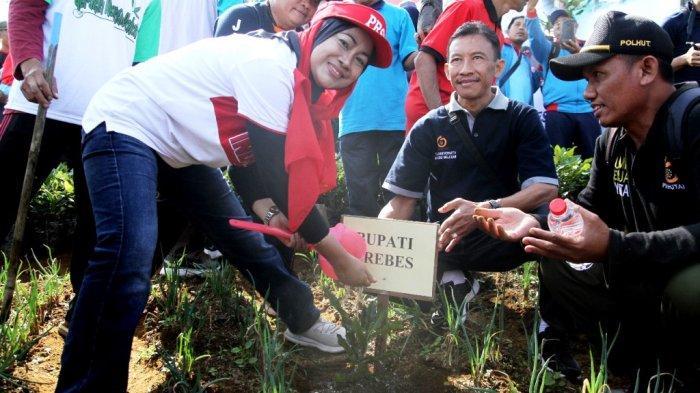 Rehabilitasi Lahan Pegunungan Kritis, Bupati Brebes Tanam Pohon Macadamia di Sirampog