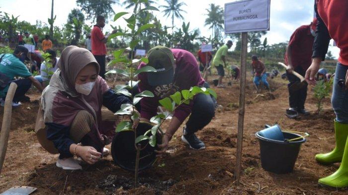 Desa Kasih Purbalingga Pekerjakan Pemuda Tani Tanam Bibit Jambu Kristal Merah
