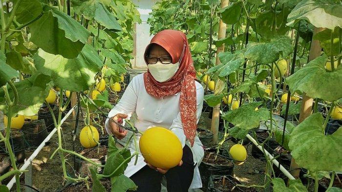 Pemuda Tegal Budidaya Melon Golden Alisha di Lahan Sempit, Sekali Panen Omzet Capai Rp 21 Juta