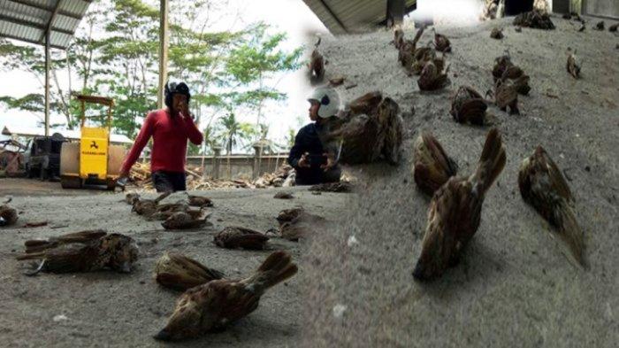Ribuan Burung Pipit Mati Mendadak di Bali, Kondisi Basah Bulu Rontok, Terkait Gunung Agung?