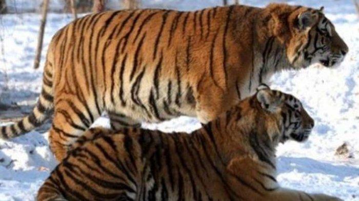 Harimau Siberia Terkam Warga dan Serang Mobil di China, Dilumpuhkan Petugas dengan Tembakan Bius