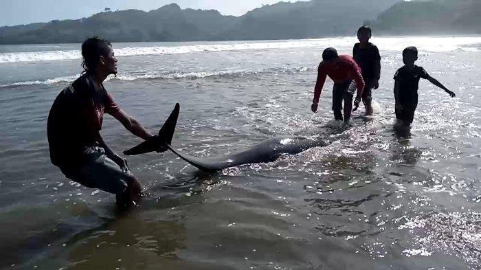 Dua ekor lumba-lumba ditemukan dalam kondisi mati dan terdampar di pinggir Pantai Sidem, Desa Besole, Kecamatan Besuki, Kabupaten Tulungagung, Jawa Timur, Minggu (5/9/2021).