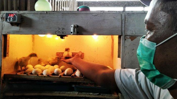 Fauzi Mahfud? (51), anggota Komunitas Kalkun Kudus (K3), warga RT 1 RW 4, Desa Undaan Kidul, Kecamatan Undaan, Kabupaten Kudus?, mengandalkan inkubator listrik untuk membantu penetasan telur.