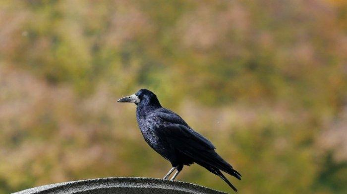 Arti Mimpi Burung Gagak, Ada Lima Penafsiran Berbeda, Ada Pertanda Baik