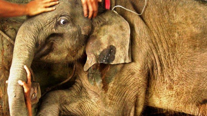 Kondisi Bayi Gajah Ini Berangsur Membaik, Ditemukan di Dekat Bangkai Induknya
