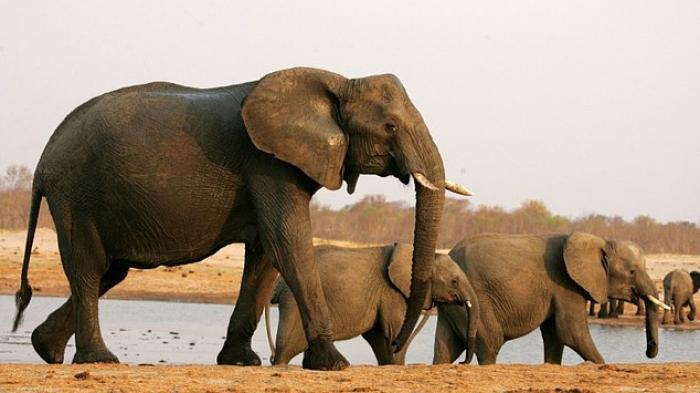 Peran Luar Biasa Gajah Bagi Habitat, Flora dan Fauna di Alam
