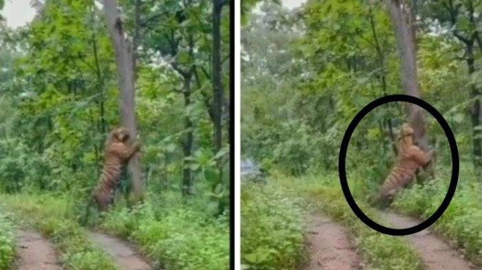Viral Video Kemunculan Harimau di Hutan Kampung Grobogan, Ini Faktanya